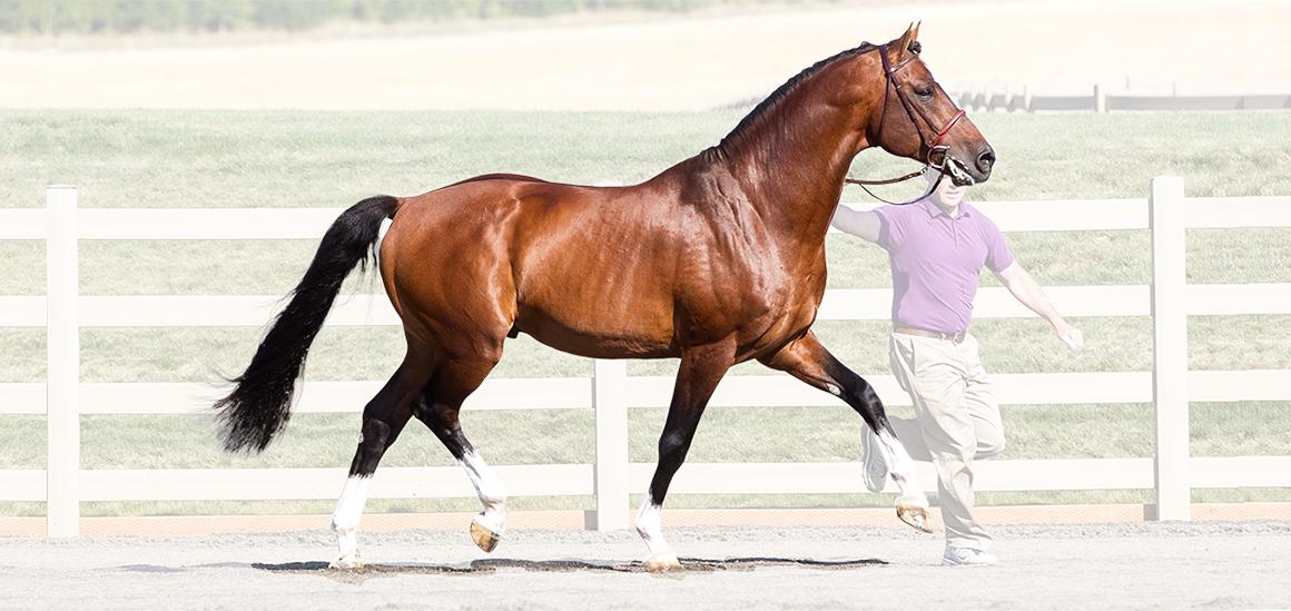Warmblood Stallions of North America